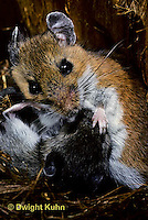 MU16-019z   White-Footed Mouse - cleaning 19 day old young -  Peromyscus leucopus