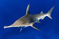 Great hammerhead shark (Sphyrna mokarran) and scuba diver, Bahamas, Caribbean, Atlantic