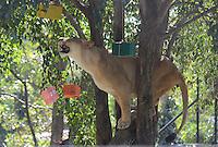 MEDELLÍN - COLOMBIA, 10-01-2015. Una leona trata de alcanzar una caja de regalo que contiene su comida preferida. Este fue el evento con el cual el Zoológico de Medellín quizó celebrar la llegada de los reyes magos./ A female lion tries to achieve a gift box containing his favorite food. This was the event which Medellín Zoo Did you celebrate the arrival of the Three Kings. Photo: VizzorImage/Luis Rios/STR