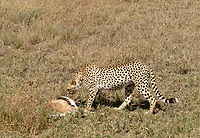 A Cheetah, Acinonyx jubatus jubatus, stands over a Thomson's Gazelle, Eudorcas thomsonii, that it has killed in Serengeti National Park, Tanzania
