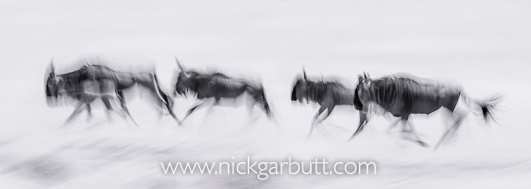 White-bearded Wildebeest (Connochaetes taurinus albojubatus), running during the annual Serengeti-Masai Mara migration. Near Ndutu, Ngorongoro Conservation Area, Serengeti Ecosystem, Tanzania. (digitally stitched image)