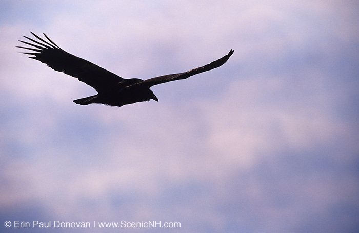 The silhouette of a turkey vulture flying high above the trees in New Hampshire.