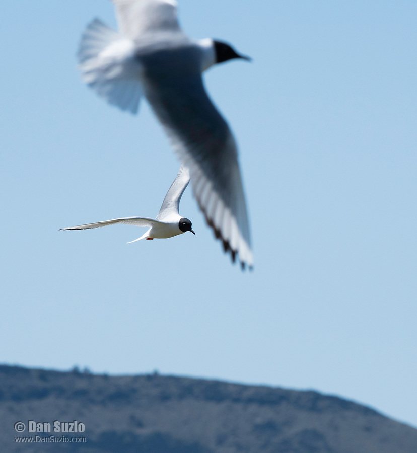 Bonaparte's Gulls, Larus philadelphia, flying over Tule Lake National Wildlife Refuge, Oregon