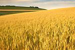 field of oats, Union County, Pennsylvania..