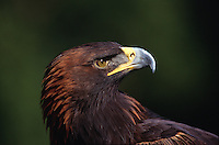 Profile portrait of a Golden eagle (A. Chrysaetos).
