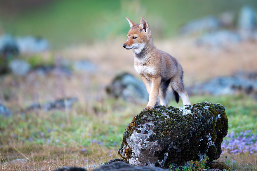 A pup from the Tarura pack learns that rocks offer a better view of the surrounding area.