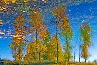 """""""AUTUMN LEAVES""""<br /> <br /> A grove of aspen clothed in autumn colors reflecting on a pond. Although most of the images is reflection, the illusion is given away by golden leaves floating on the water. Image taken near the Tobacco River in Montana <br /> <br /> ORIGINAL 24 X 36 GALLERY WRAPPED CANVAS SIGNED BY THE ARTIST $2,500. CONTACT FOR AVAILABILITY."""
