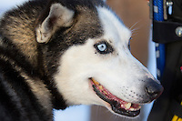 At the start of the 2016 Junior Iditarod Sled Dog Race on Willow Lake  in Willow, AK February 27, 2016