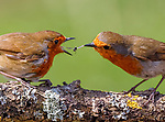 Pictured:  Sequence 3 of 9:  The male robin (right) passes the insect over to the female.<br /> <br /> A courting ritual between two robins is cut short - after the female drops an insect the male was trying to feed her.  The female stands ready to receive the fly in her open beak but after it is dropped both glance disappointedly at the floor, and the male flies down in an attempt to retrieve it.<br /> <br /> This exchange of food is an integral part of the courtship between robins and was captured by professional photographer Ivor Ottley in Suffolk.  SEE OUR COPY FOR DETAILS.<br /> <br /> Please byline: Ivor Ottley/Solent News<br /> <br /> © Ivor Ottley/Solent News & Photo Agency<br /> UK +44 (0) 2380 458800