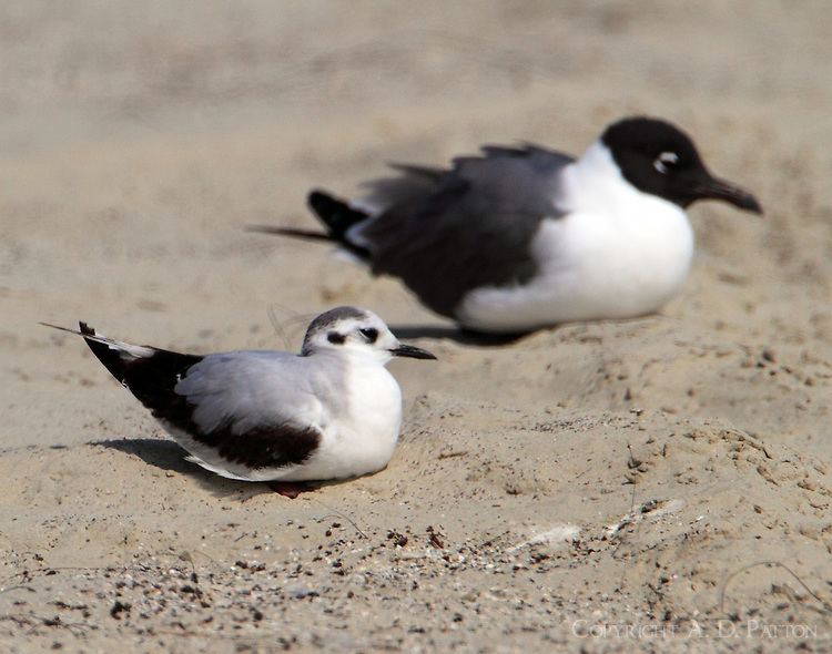 First winter little gull resting next to adult laughing gull. Note the size difference. Bird was part of a large mixed flock of Forster's, sandwich and royal terns and laughing and Bonaparte's gulls.