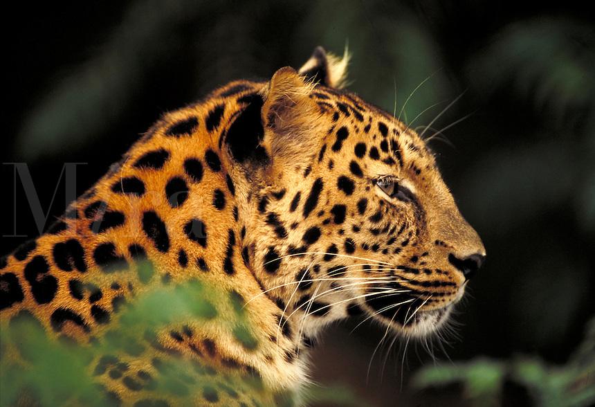 Amur leopard in zoo; head in profile close up; unfocused leaves. St. Louis Missouri.