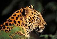 Amur leopard in zoo; head in profile close up; unfocused leaves. St. Louis Missouri.