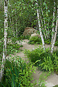 Multi-stemmed silver birches underplanted with Osmunda regalis (Royal fern) and Juncus effusus (Soft rush). The Telegraph Garden, designed by Sarah Price, RHS Chelsea Flower Show 2012.