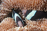 Papisoi, Indonesia; a pair of Clark's Anemonefish (Amphiprion clarkii) hiding in their host anemone