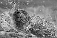 Halichoerus grypus<br /> <br /> A grey seal in the surf.