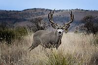 Mule Deer, roadside near Fort Davis, Texas
