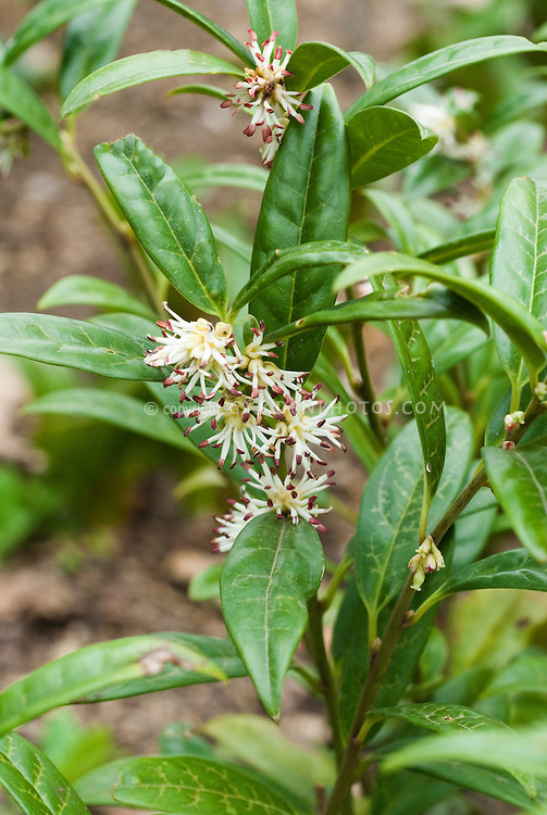 Sarcococca hookeriana in bloom