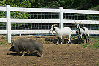 Guinea hog Pig and goats farm animals mixed in paddock