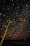 Night sky with stars and the Milky Way above a dead camelthorn acacia tree, Namib Desert, Namibia, Africa.