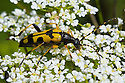 Spotted Longhorn Beetle (Strangalia maculata) feeding on umbellifer flowers. Devon, UK. June.