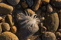 Bird feather (likely killdeer) along Nisqually River, WA.  July.