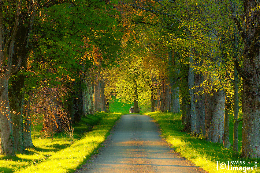 Alley surrounded with green trees