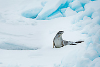 Weddell Sea, Antarctica. Crabeater Seal on pack ice.
