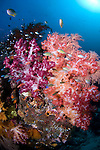 Beautiful soft corals, Dendronephthya sp., Raja Ampat, West Papua, Indonesia, Pacific Ocean