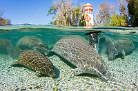 Florida Manatee (Trichechus manatus latirostris) Seeking shelter in the Three Sisters sanctuary located in Crystal River,Florida.