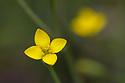 Yellow Centaury (Cicendia filiformis). Dorset.