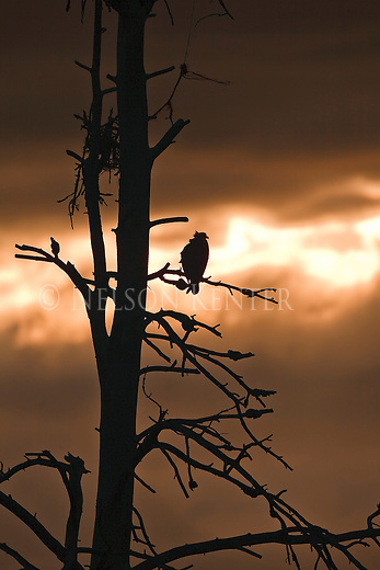 An Osprey is silhouetted against an orange sky at sunset