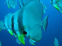 Tall-finned Batfish, Christmas Island, Indian Ocean