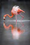 Galapagos race of Greater Flamingo (Phoenicopterus ruber ruber) in lagoon. Isla Floreana, Galapagos Islands (Ecuador).