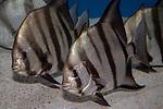 Atlantic spadefish swimming left 2 shot