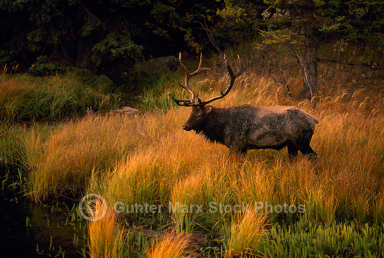 Jasper National Park, Canadian Rockies, AB, Alberta, Canada - Bull Elk, Wapiti (Cervus canadensis), standing at Watering Hole, Sunset