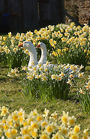 White geese in daffodils, Chipping, Lancashire.