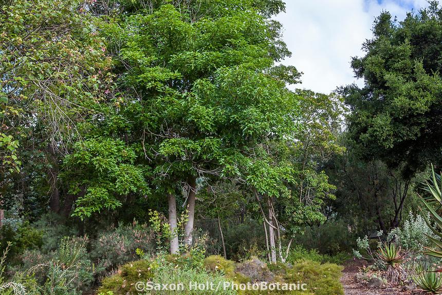 Brachychiton acerifolius (Flame Tree) deciduous Australian tree in Taft Gardens, Ojai, California