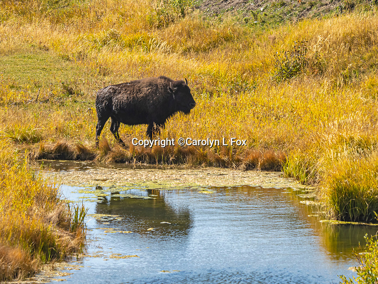 Bison are often seen in Yellowstone.