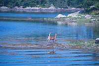 White-Tailed Deer (Odocoileus virginianus) Swimming, Great Island, Castine, Maine, US