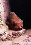 Lumpfish on ledge, vertical