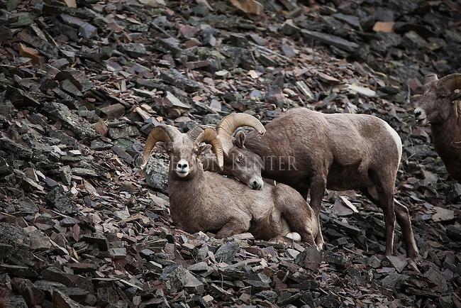 Bighorn Sheep rams on talus slope in Montana