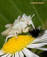 0910-0806  Ambush Bug Nymph Consuming Prey - Phymata spp. Virginia - © David Kuhn/Dwight Kuhn Photography.