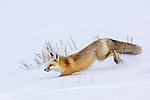 Red Fox (Vulpes vulpes) running  through deep snow. Hayden Valley, Yellowstone National Park, Wyoming, USA. January.