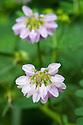 Crown vetch (Securigera varia syn. Coronilla varia), mid June.