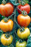 Tomatoes Mr Stripey aka Tigerella