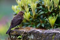 Eurasian Blackbird (Turdus merula merula), juvenile in Queens Park, Invercargill, Southland, New Zealand.