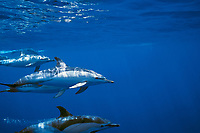 short-beaked common dolphins Delphinus delphis Azores Islands, Portugal, North Atlantic Ocean