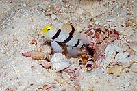 yellownose shrimpgoby, Stonogobiops xanthorhinica, with Randall's snapping shrimp, Alpheus randalli, Maldives, Indian Ocean