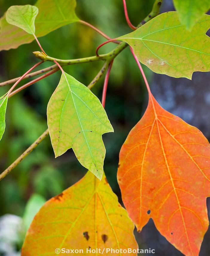 Sassafras tzumu tree leaves in fall color - UC Berkeley Botanical Garden