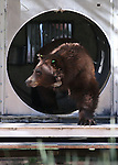 """Nevada Department of Wildlife black bear biologist Carl Lackey releases a bear west of Carson City, Nev., on Sunday, May 25, 2014. The 8-year-old female bear was """"intercepted early in the cycle of conflict behavior"""" and subjected to aversion training. <br /> Photo by Cathleen Allison"""